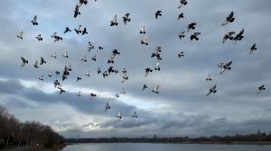 Vogelschwarm über dem Rheinufer